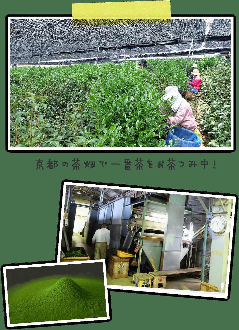京都のの茶畑で一番茶をお茶つみ中!